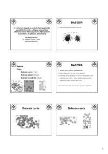 BABESIA BABESIA. Babesia Kutya: Babesia canis 4-7 µm Babesia gibsoni 2-5 µm Babesia microti like 2-5 µm